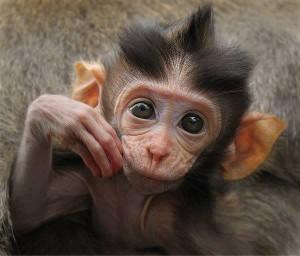 majom beszéd