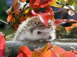 Őszi süni