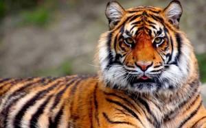 Magányos tigris