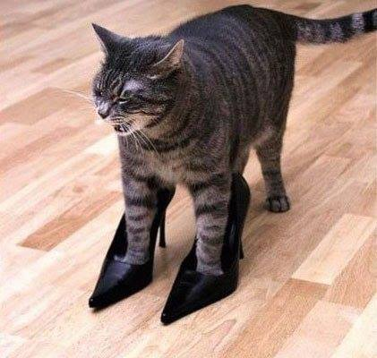magassarkú cica