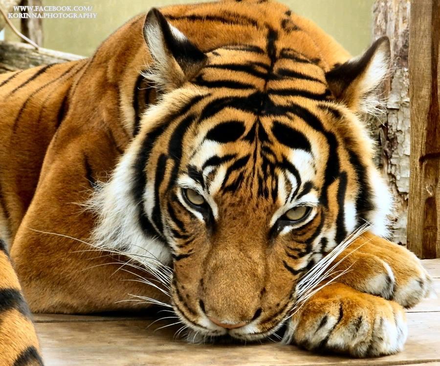Tigris-minta