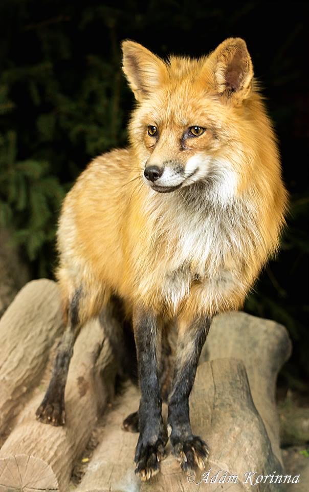A róka bundája