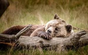 a medve őszi álma